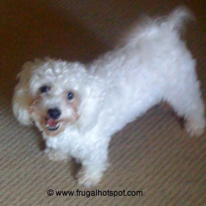 Stewart Smiling Bichon Frise Maltese Mix Breed Dog
