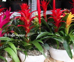 Bromeliad in Ceramic Pot 2.25L at Costco