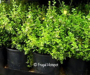 Euonymus 2.14 gal at Costco