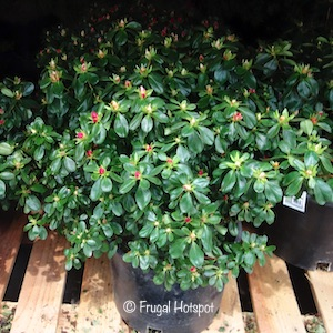 Evergreen Azalea Shrub 2.14 gal at Costco