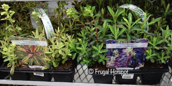 Groundcover Wood Spurge 9-Pack at Costco