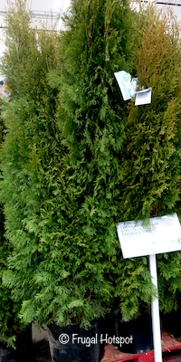 Thuja Arborvitae 6.9 gal Emerald Green at Costco
