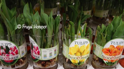 Tulip Bulbs in Vase Costco