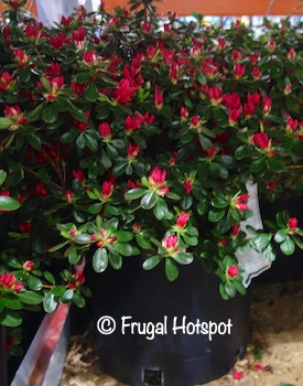 Evergreen Azalea Costco
