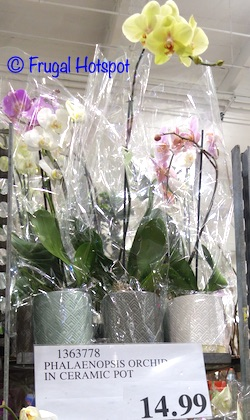 Orchid in Ceramic Pot Phalaenopsis | Costco Display